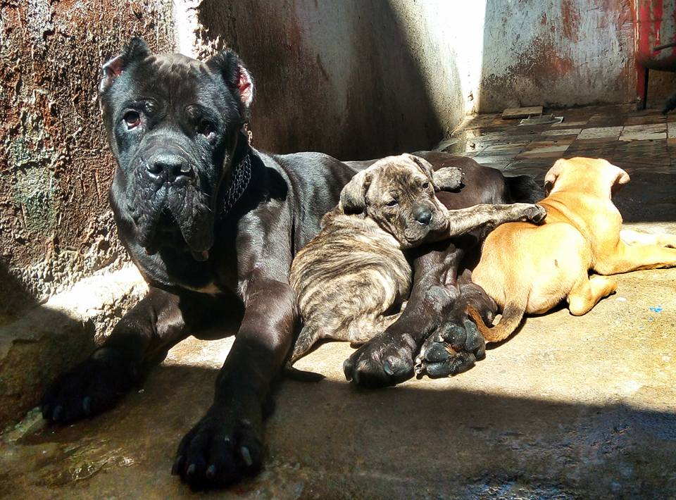 cane corso ouedkniss