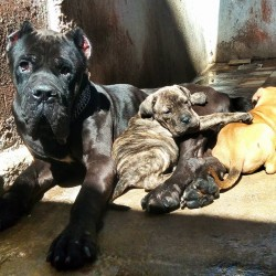 cane corso ouedknisse